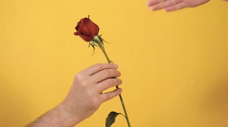 gives : Male hand from knees passes red rose flower to female hand on yellow background. Valentine Day, February 14, birthday, anniversary, first date concept. Slow motion and close up