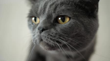 cheirando : Beautiful attractive gray big head brown eyes cat looks sideways sniffing something. Close-up and Slow Motion