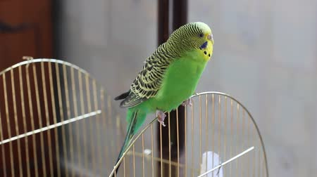 オウム : Budgerigar sitting on a cage