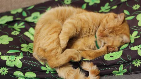 Beautiful red cat lies on a sofa Stock Footage