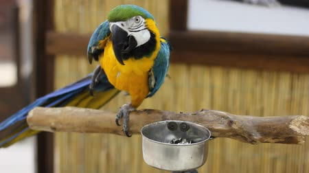 Big parrot close up. Blue and yellow macaw Stock Footage