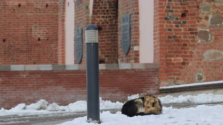 Homeless dog freezes on the snow near the building Wideo