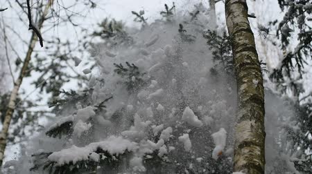 Make shake snow-covered tree in the forest at winter in slowmo