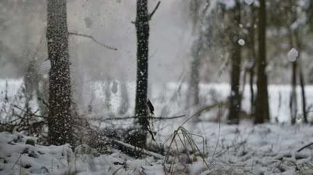 Snowfall from the tree to the ground in forest at winter in slowmo