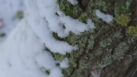 Snow-covered tree trunk in the forest at winter, close-up bark