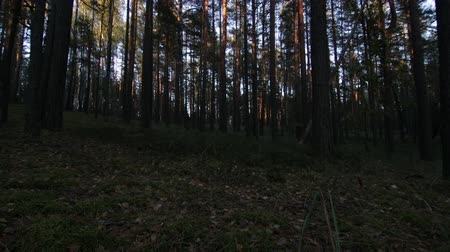 View on trees in pine-spruce forest at evening Wideo