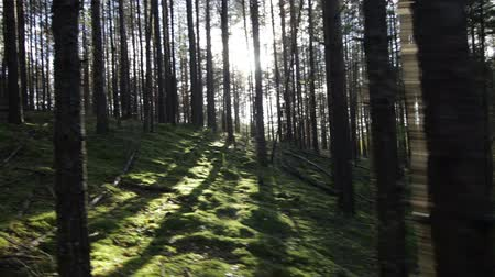 Moving uphill in deep pine-spruce forest opposite the sun Pov Shot