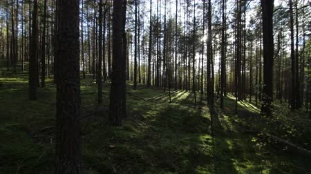 polana : Walking across deep pine-spruce forest opposite the sun, sunlight lens flare