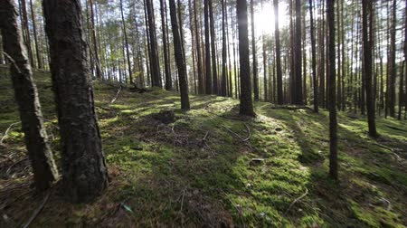bělorusko : Moving across the deep pine-spruce forest Pov Shot Sunlight Lens Flare