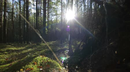 Flying over moss and grass in the deep forest in sunny beams Sunlight lens flare Wideo