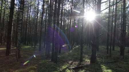 Smooth moving across the deep pine-spruce forest Pov Shot Sunlight Lens Flare
