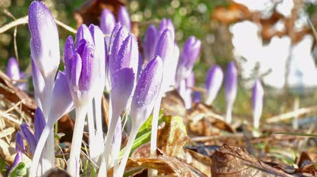 smell : first crocus after winter Stock Footage