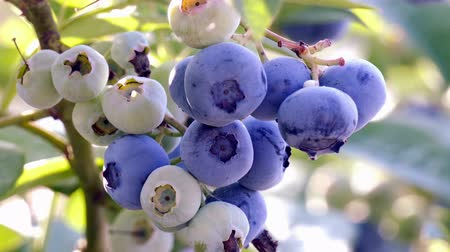jagoda : Blueberries