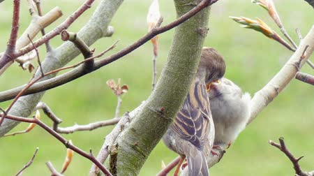young sparrow : A bird feeds his child in a hedge