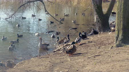 husy : many wild geese and ducks on the lake shore Dostupné videozáznamy