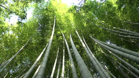 bambusz : Bamboo Forest in Kyoto.