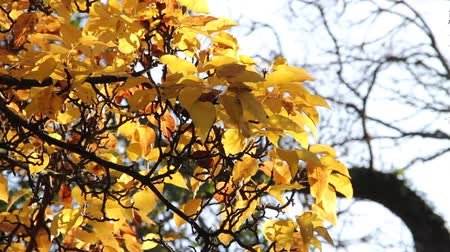 ormanda yaşayan : Bright yellow leaves rustling in the wind Stok Video
