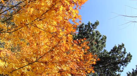 Multiple clips of yellow leaves rustling in the wind on clear, blue day 影像素材