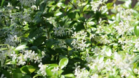 yasemin : A bush of Jasmine flowers move about in the wind and shadows