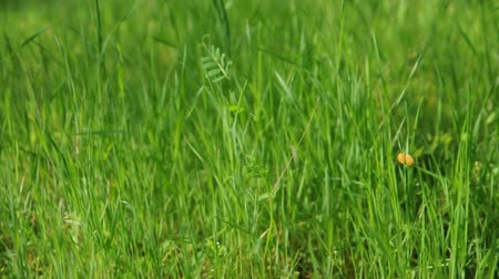 área de trabalho : A close up of tall green grass moving in the breeze