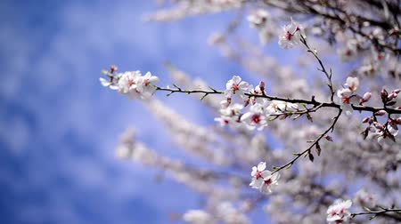 blooms : Cherry blossoms in spring, branch of cherry tree with white blossoms. Spring season.