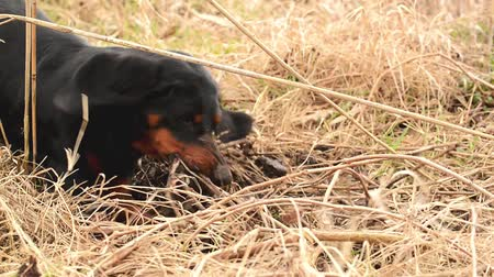urge : Dachshund dog hunting for moles in the garden ground covered with dry grass. Handheld Steady 1920x1080 full hd footage.