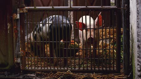 porky : Young Pigs in Stable on Breeding Animal Farm, 1920x1080 full hd handheld steady footage.