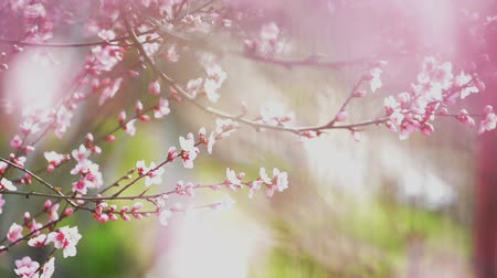 şeftali : Beautiful Pink Blossoming Peach Flowers on the Garden Tree Branch in The Spring, Selective Focus with Handheld Camera, 1920x1080 full hd footage.