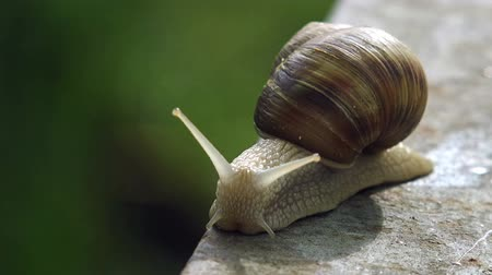 caracol : Brown Burgundy Roman Snail or Slug Outdoors on a Sunny Morning Light. Stock Footage
