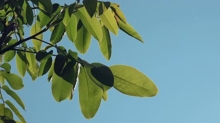 nascer do sol : Walnut Treetop and Branches with Green Leaves with Morning Sunlight Shining Through Plants in Orchard.