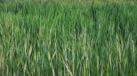 termés : Green Wheat Heads in Cultivated Agricultural Field Early Stage of Farming Plant Development