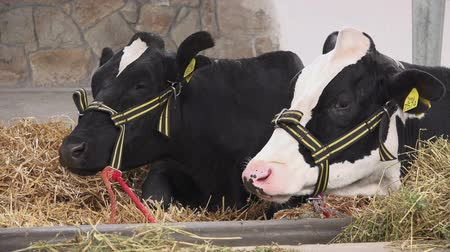 dairy animal : Holstein Friesian Cattle Cows Feeding on Animal Farm while Laying in Barn This Cow Breed is worlds Leading Production Dairy Animal. Stock Footage