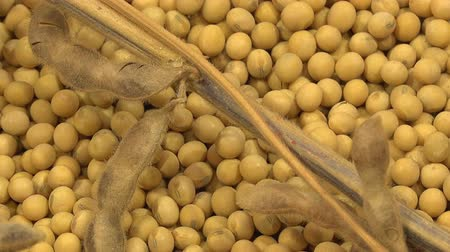 soja : Soy Bean Plants and Beans As Agriculture Crop Harvest Concept.