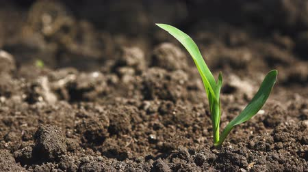устойчивость : Growing Maize Corn Seedling Sprouts in Cultivated Agricultural Farm Field