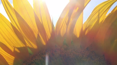 girassóis : Sun Light Peaks Through Sunflower Petals Agricultural Field on Sunny Summer Day, Beautiful Cultivated Helianthus Plant