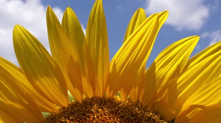 organic : Sunflower Detail from Agricultural Field on Sunny Summer Day, Beautiful Cultivated Helianthus Plant Petals Stock Footage