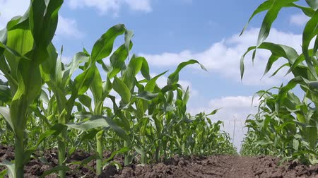 milho : Green corn crops growing in cultivated agricultural field, low angle shot, white clouds and blue sky in background, crop protection concept. Stock Footage