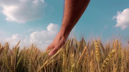 çiftçi : Farmer Examines and Controls Young Wheat Cultivation Field, Crop Protection Concept