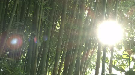 bambusz : Sun shines through green bamboo trees as background, bamboo forest detail, 4k uhd footage, 3840x2160, 2160p.