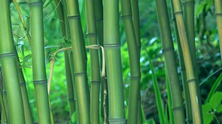 bamboo forest : Green bamboo trees as background, bamboo forest detail, 4k uhd footage, 3840x2160, 2160p.