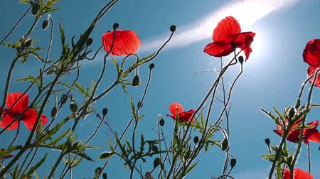 haşhaş : Field of red poppy flowers against the sun and blue sky in spring morning Stok Video