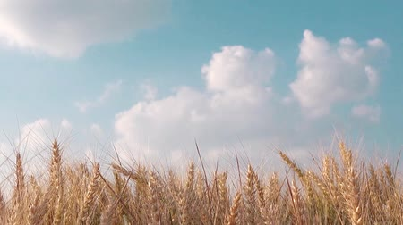 cultivar : Wheat field, cultivated crops growing in agricultural field, organic farming, 1920x1080, 1080p, full hd footage