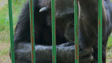 állatkert : Adult male common chimpanzee eating banana behind the bars of the zoo cage, animals in captivity, wildlife species in zoo, 1920x1080 full hd footage.