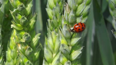 macro : Ladybird beetle on wheat ear in field, lady bug walking on crops, macro full hd footage. Stock Footage