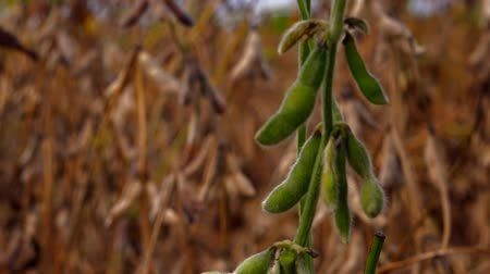 sojový : Focus shifting from green to harvest ready ripe soy bean crops in cultivated field.