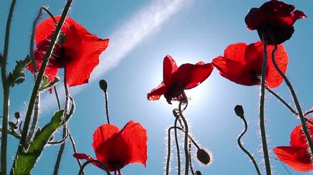 baixo ângulo : Red poppy flowers, low angle shot against sunny summer sky, uncultivated field of wild poppies.