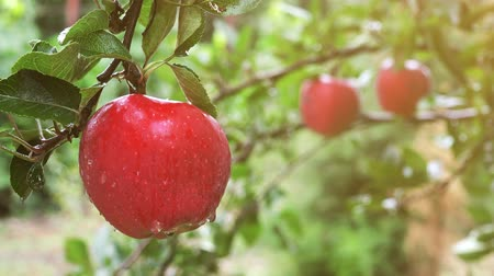 organic : Red organic apples on tree branch in fruit orchard after sudden summer rain. Stock Footage