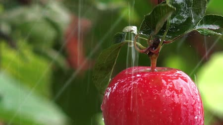pomar : Red organic apple on tree branch in orchard during summer rain.