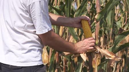 proceed : Farmer picking corn ear with husk from the plant stalk in cultivated field Stock Footage