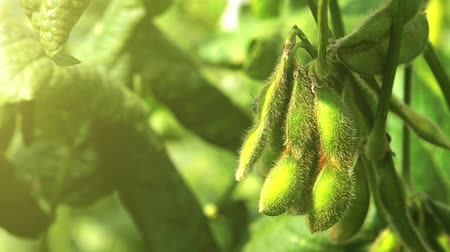 Green soybean field close up, soy bean crops in field, 4k uhd footage. Stock Footage